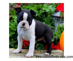 Gorgeous Boston Terrier puppy