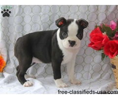 Super Adorable Boston Terrier Puppies