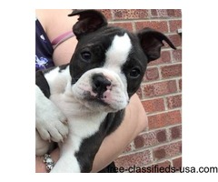 Home raised Boston Terrier puppies for rehoming