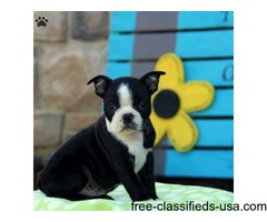 Special little Boston Terrier puppies