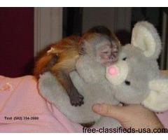 Cute and House trained Capuchin Monkeys