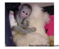 Well trained Capuchin monkeys For Re homing