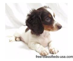 Cute Female Miniature Dachshund