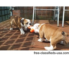 English Bulldog Puppies seeking for a good home