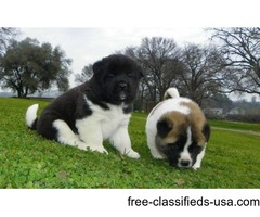 Marvelous Male and Female Akita Inu puppies now available.