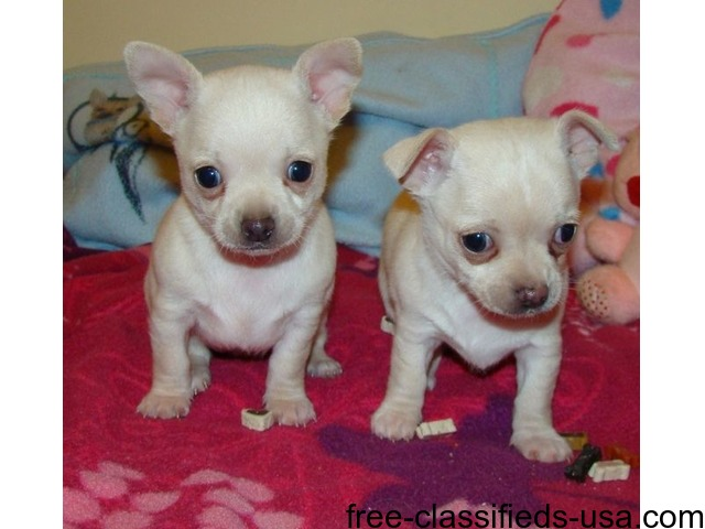 Akc registered male and female Chihuahua puppies for sale New Jersey