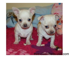 Akc registered male and female Chihuahua puppies for sale now.