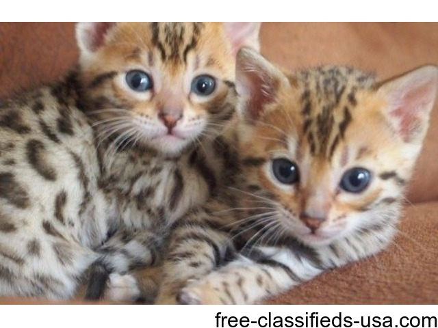 Cute Male And Female Bengal Kittens For Sale Now 423 430 8594 Animals Alliance Ohio Announcement 44983