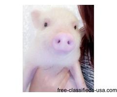 Pink potbelly piglet