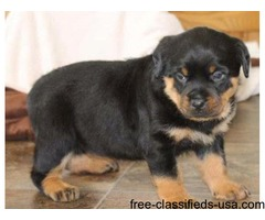 Marvelous Rottweiler Puppies For sale