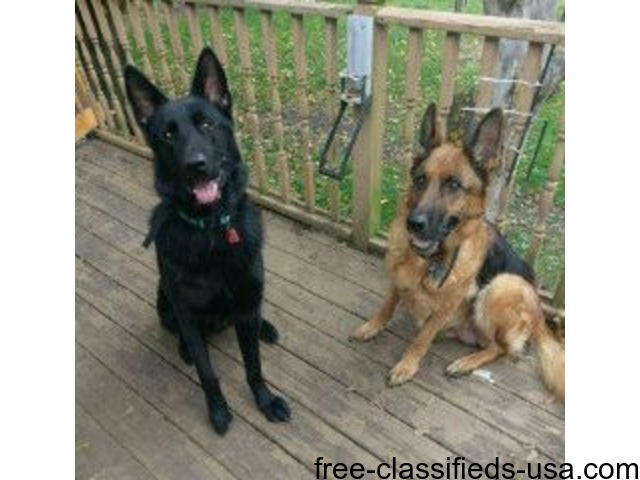 Ull Blooded German Shepherd Puppies Animals Portage Indiana