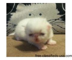 Adorable CFA registered white female persian kitten