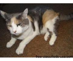 Lost Female Calico Cat Found