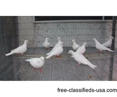 White DOVES, healthy, good feather, acclimated to the outdoors