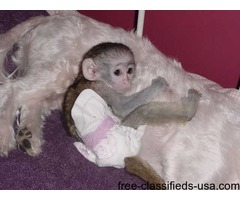 Healthy and well trained capuchin monkey for rehoming..text 7062506301