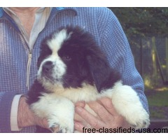 Beautiful AKC Newfoundland Puppies Ready now - Financing Available