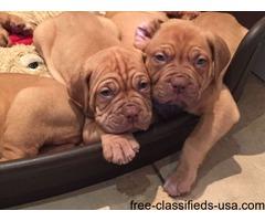 Dogue de Bordeaux female puppy -Turquoise collar