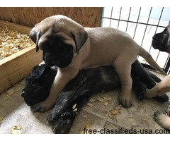 english mastiff puppies, akc registered