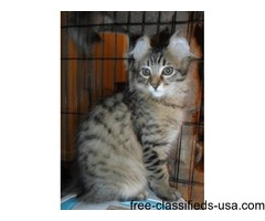 American Curl Kittens For Sale