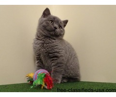 Beautiful British Shorthair Kittens -