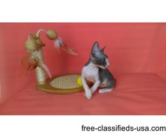 Cornish Rex Kittens Available Now.