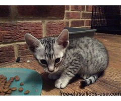 Egyptian Mau Kittens Ready Now