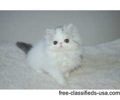 Gorgeous Pedigree Exotic Kittens