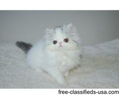 Gorgeous Pedigree Exotic Kittens