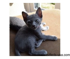 Korat Kittens Avaliable