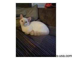 Munchkin Kitten For Sale