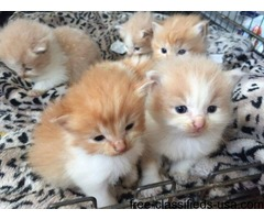Pedigree Norwegian Forest KittenS