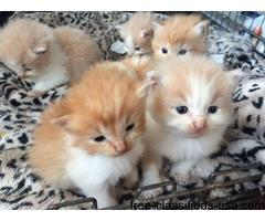 Pedigree Norwegian Forest KittenS