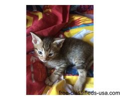 Pedigree Ocicat Kittens For Sale