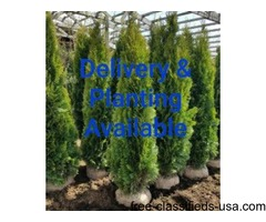 Arborvitae Plants for Sale