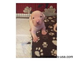 gorgeous American Bulldog Puppies