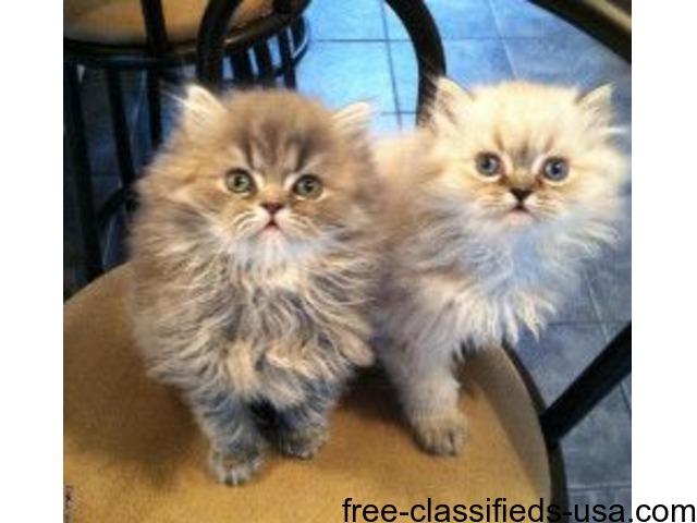 Persian Kittens In Rhode Island
