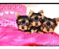 Purebred yorkie pups Ready now
