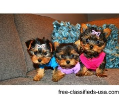 Very lovely Yorkie Puppies