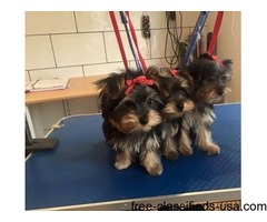 Male and female T-cup yorkie Puppies available