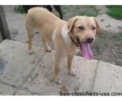 Male labrador retrievera dog for sale