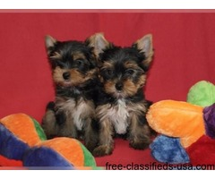 Cute and Adorable Yorkie puppies