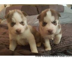 Weimaraner Weimador Siberian Husky puppies for adoption.