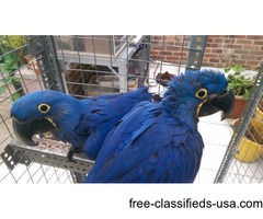 Silly Tamed & Talking Hyacinth Macaw Parrots for free adoption
