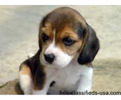 Beagle pups ready now for loving kids and family