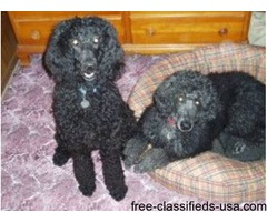 AKC standard poodle puppy $750.00 *(1200 for breeding rights)