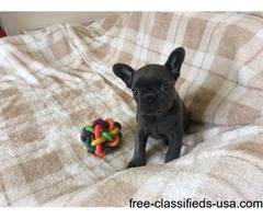 affectionate French bulldogs pups for sale.