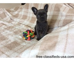 active French bulldogs pups for sale