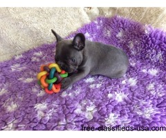 agile French bulldogs pups for sale
