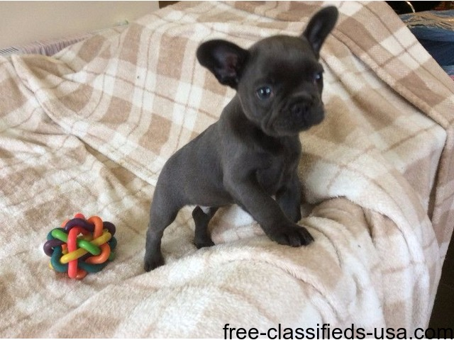 agreeable French bulldogs pups for sale | free-classifieds-usa.com
