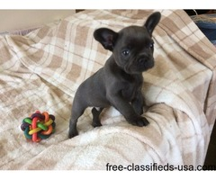 agreeable French bulldogs pups for sale